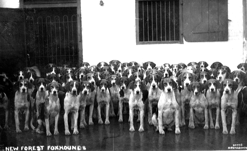 n f foxhounds