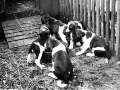 foxhound puppies